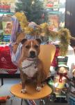 Poor Staffordshire bull terrier is overlooked time and time again - could he be the loneliest pup this Christmas? Beautiful Bentley has his bags packed and is ready to find his forever home just in time for Christmas - after one year in RSPCA care.